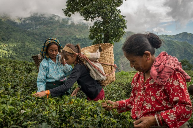 Athéna partage le quotidien des cueilleuses de thé dans la plantation bio de Makaibari. Région de Darjeeling